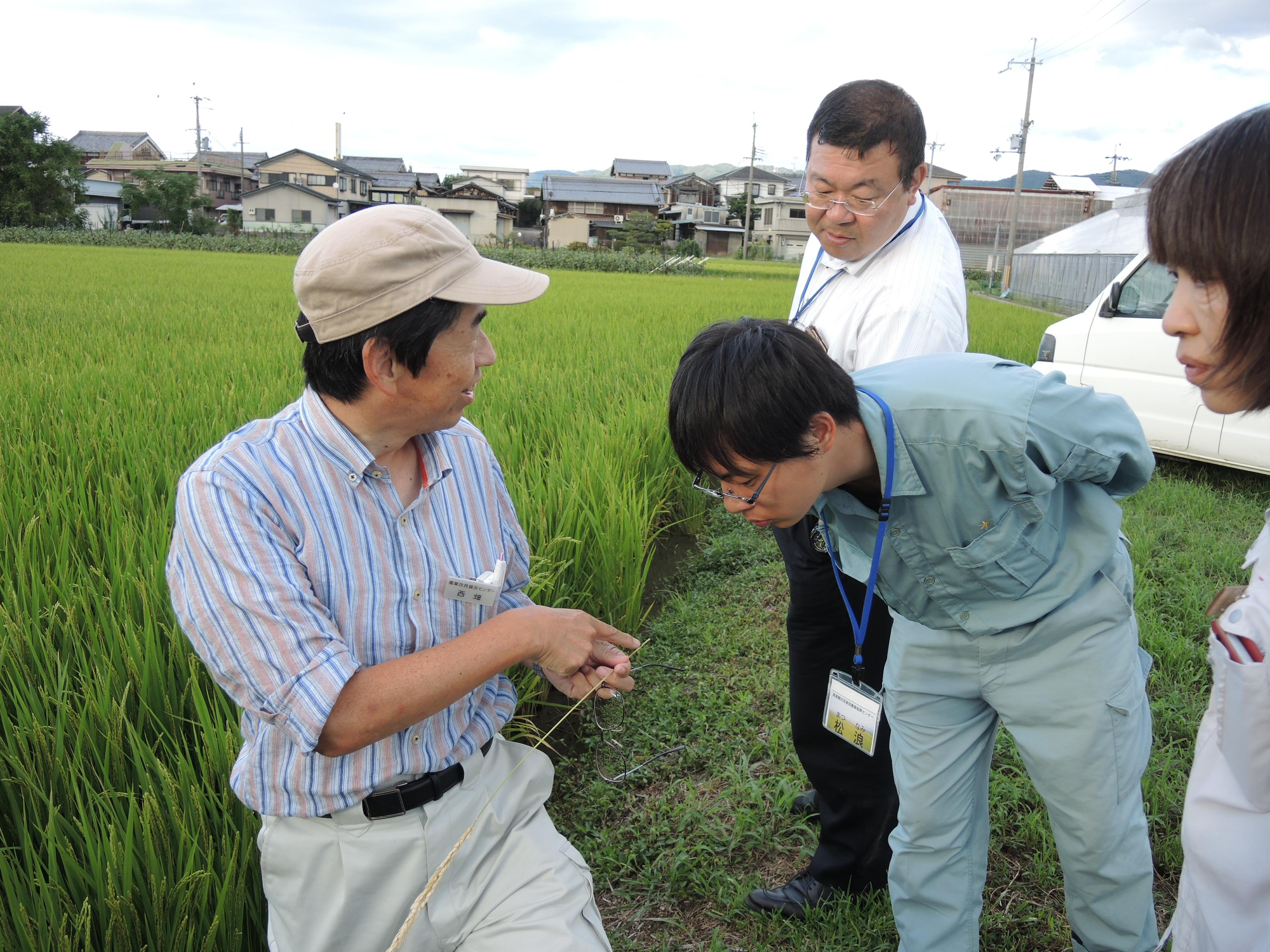 水稲採種圃の生育状況を調査を行いました1