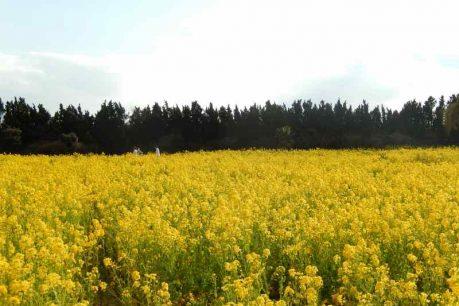 女性部全体企画旅行「早春渥美半島 菜の花まつりといちご狩り収穫体験1泊2日」2