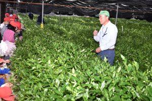 小学生が茶生産を学ぶ1