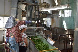 小学生が茶生産を学ぶ3