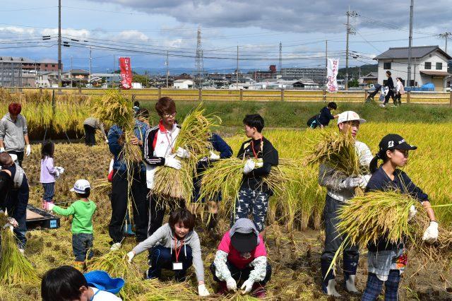 たんぼラグビーほ場で収穫イベント開かれる