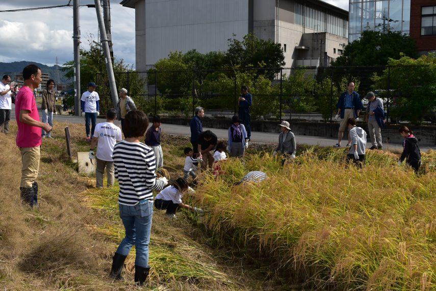 酒造好適米「祝」の収穫体験イベントを開く1